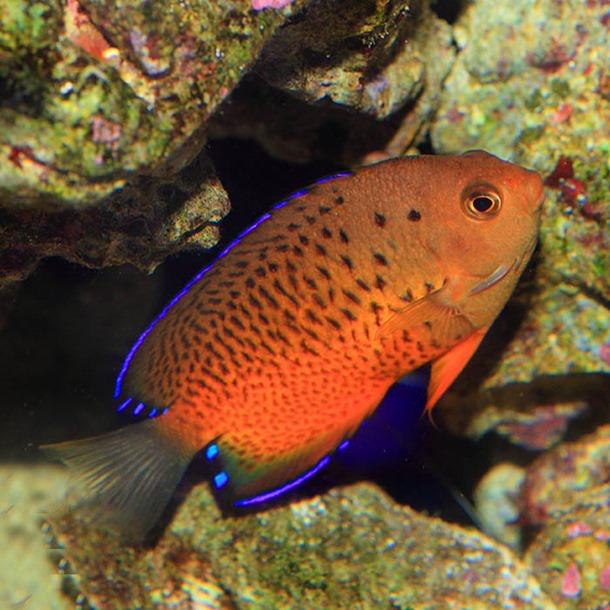Rusty Dwarf Angel Fish