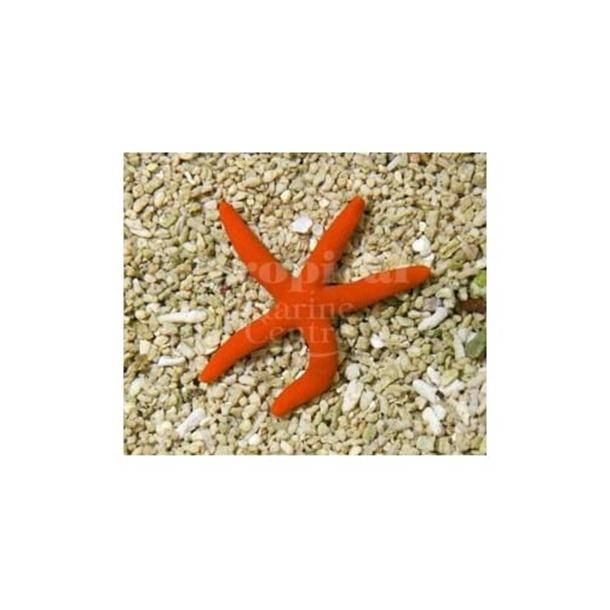 Orange Finger Starfish