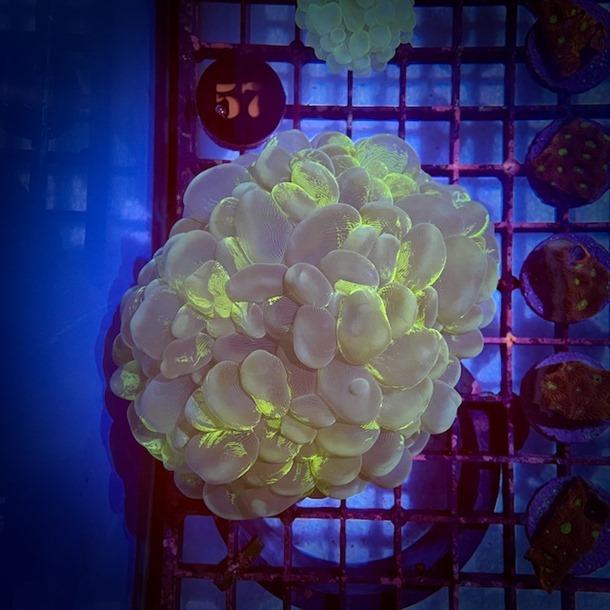 Green Bubble Coral