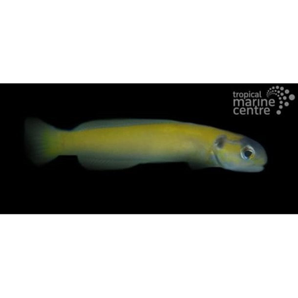 Yellow Tilefish