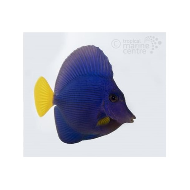 Yellow Tail Purple Sailfin Tang