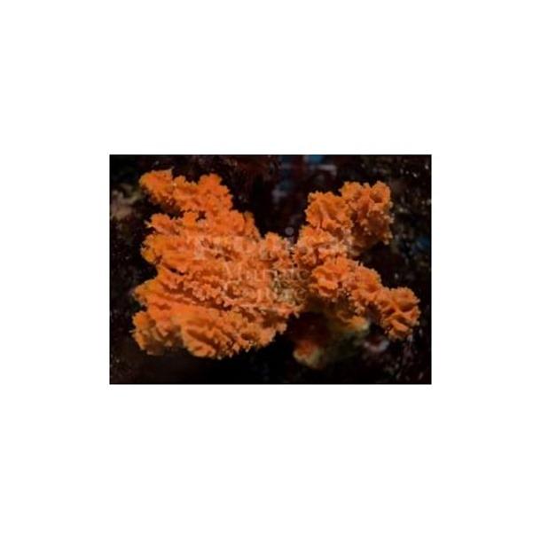Orange Frilly Sponge