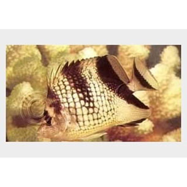 Black Pearlscale Butterflyfish