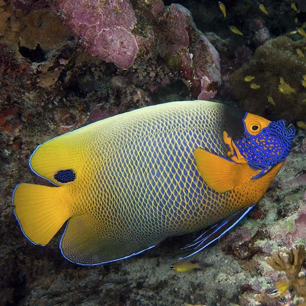 Blue Face Angel Fish