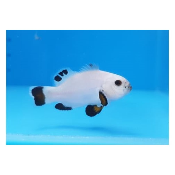Snow Storm Clownfish