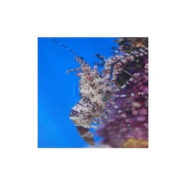 Mosaic Marble Shrimp