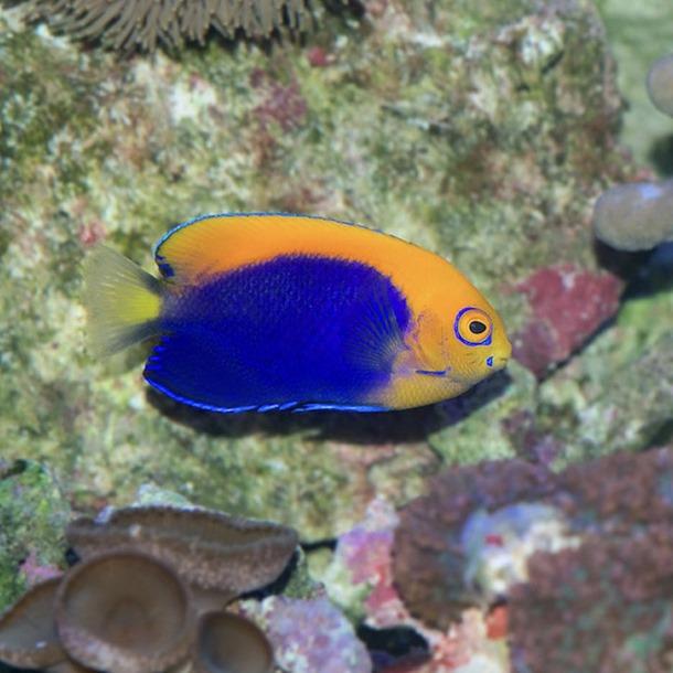 Flameball Dwarf Pygmy Angel Fish
