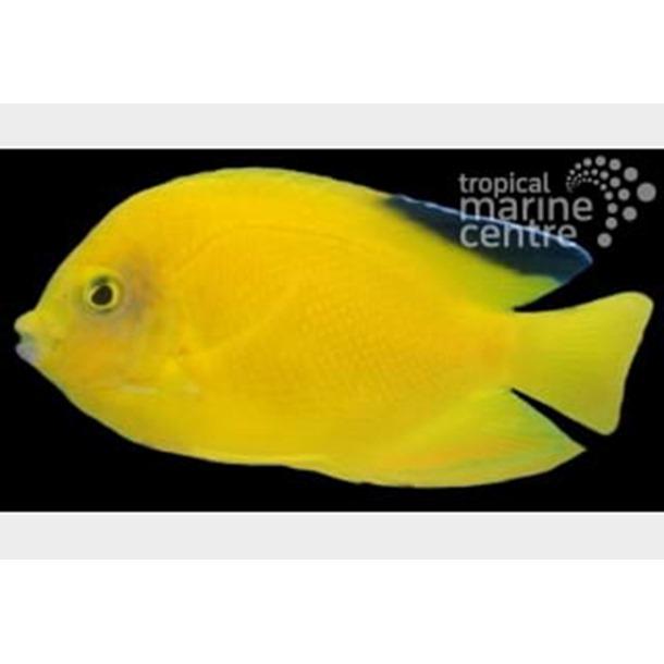 Woodhead's Dwarf Angel Fish