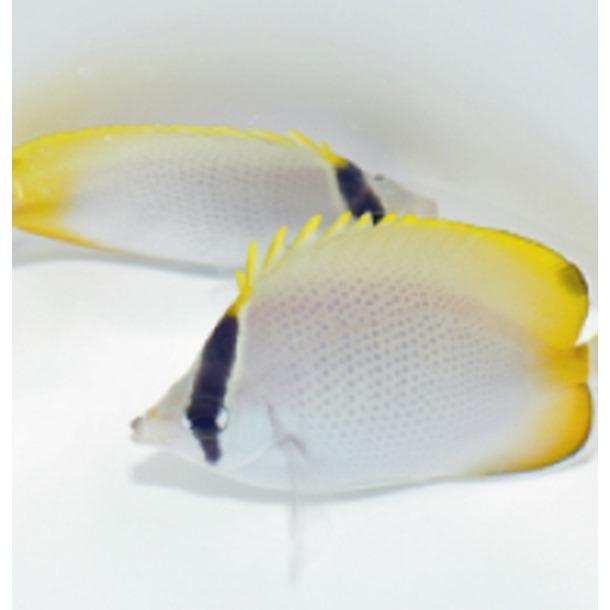 Gunther's Butterflyfish