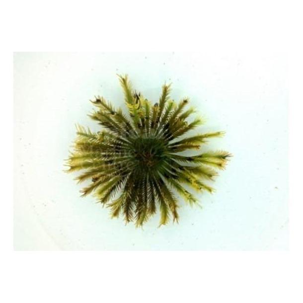 Feather Starfish