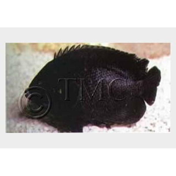 Midnight Dwarf Angel Fish