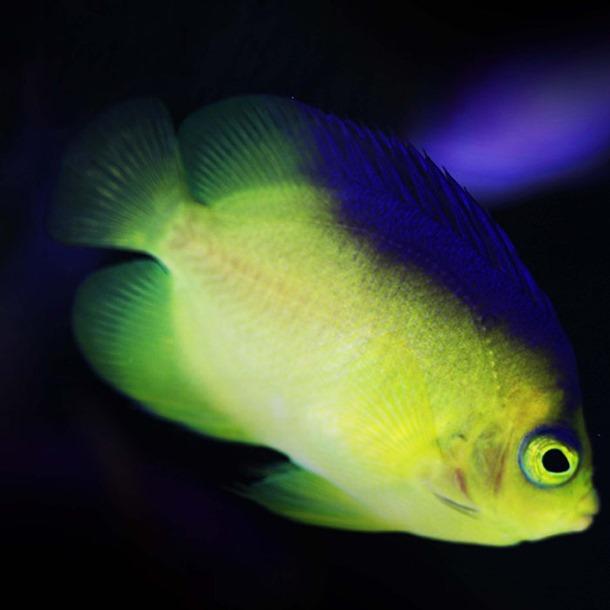 Colins Dwarf Angel Fish