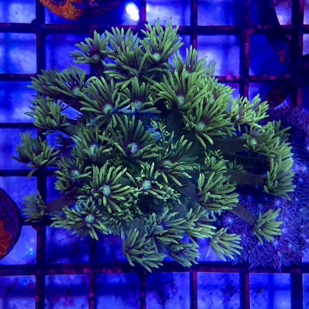 Green Goniopora Frags
