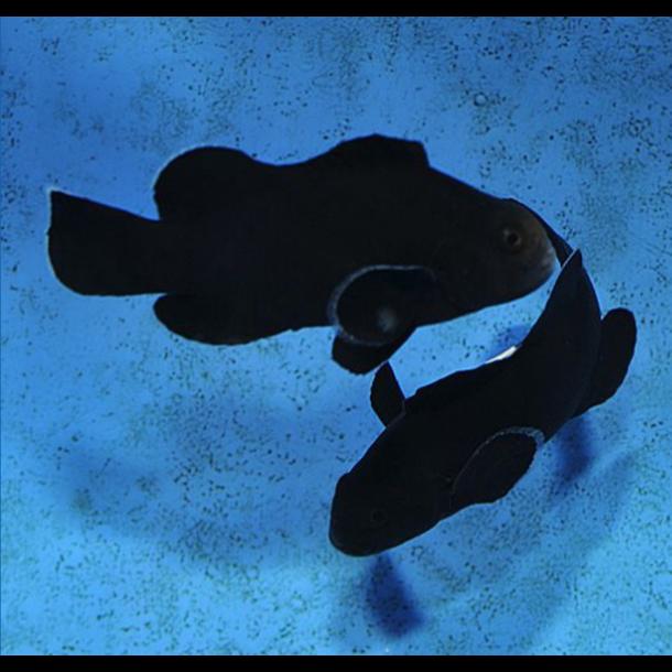 Midnight Clownfish