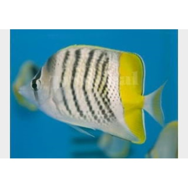 Merten's Pearlscale Butterflyfish