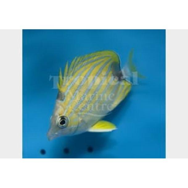 Blue Stripe Butterflyfish