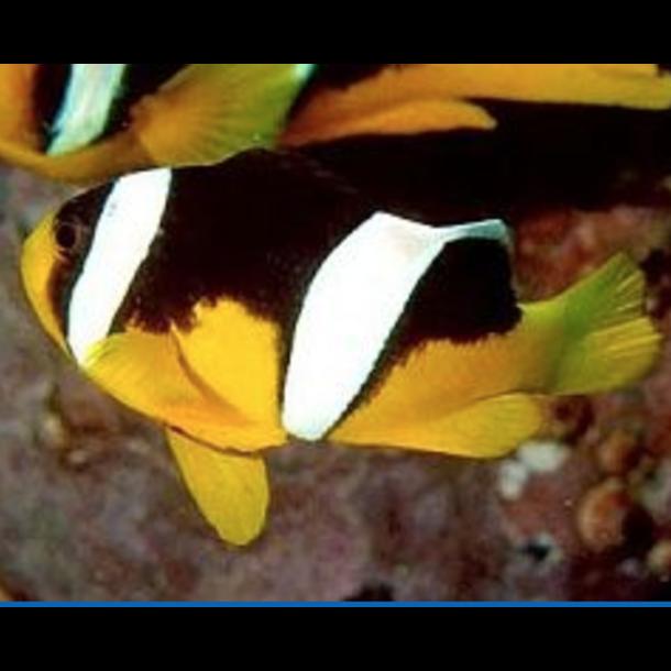 Sebae Saddleback Clownfish