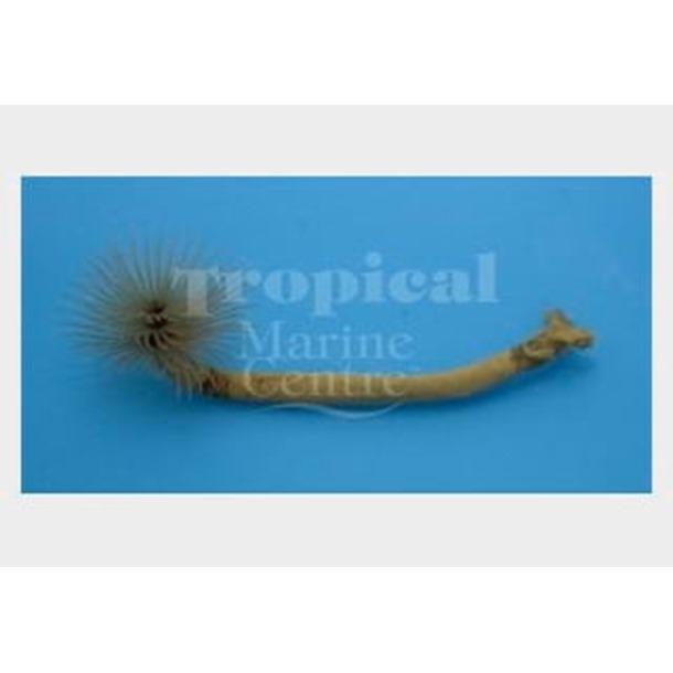 Spiral Feather Worm