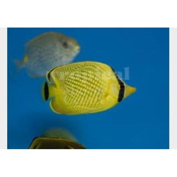 Lattice Butterflyfish