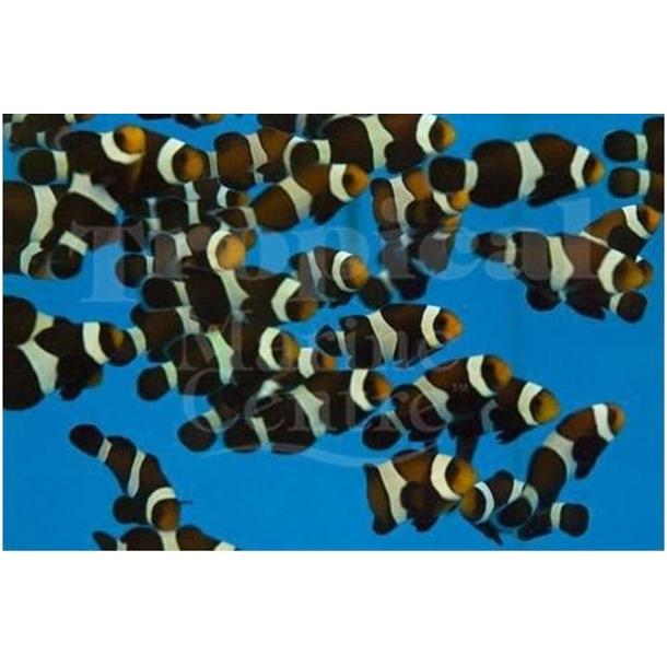 Darwin Clownfish