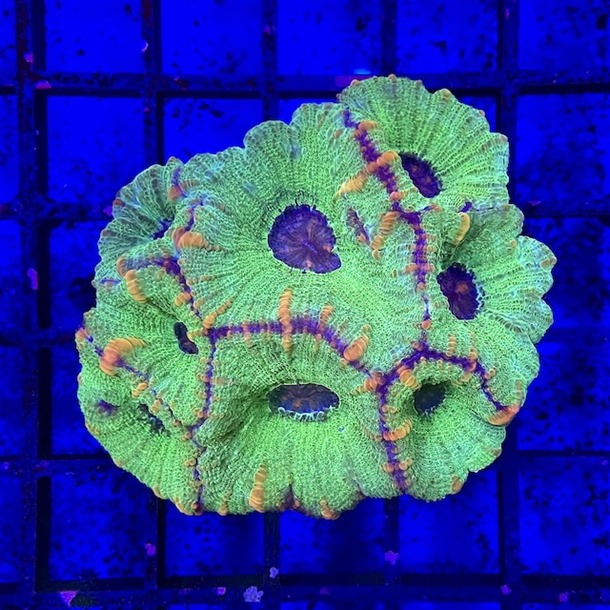 Gold Stripe Prism Coral