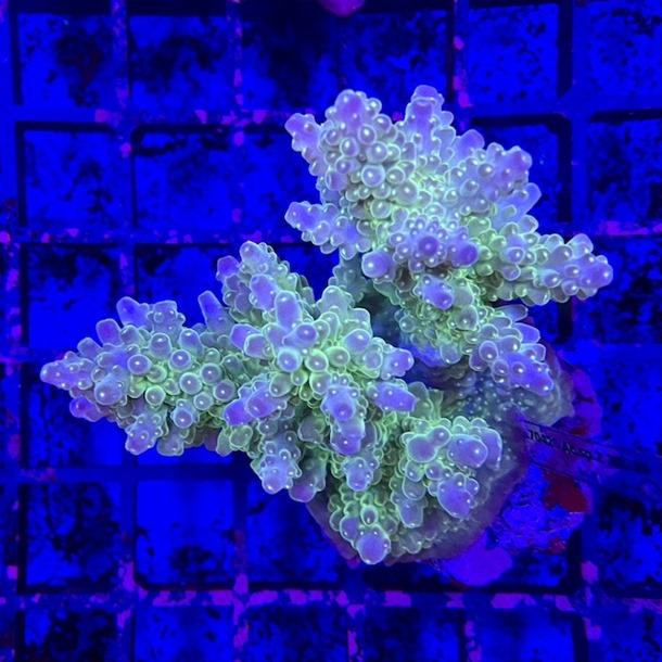 Acropora Colony
