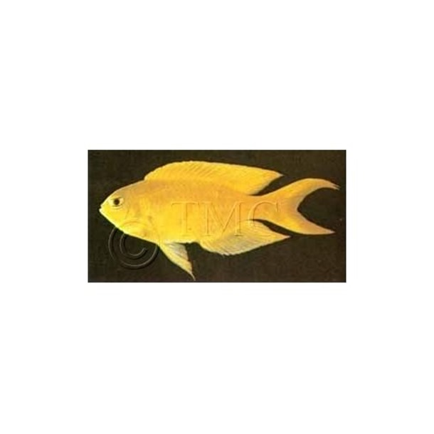 Canary Damsel