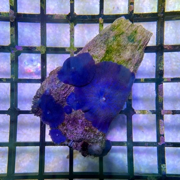 Blue Mushroom Colony