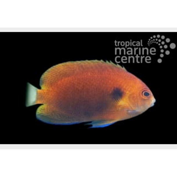 Fisher's Pygmy Dwarf Angel Fish