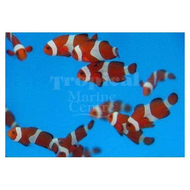 Tangerine Clownfish