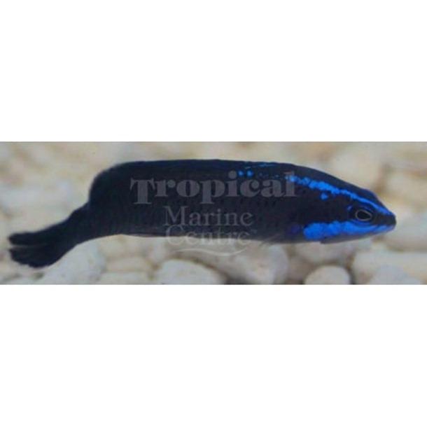 Blue Streak Dottyback