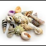 Hobby Sea Shells