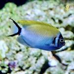 Japanese Lyretail Angel Fish