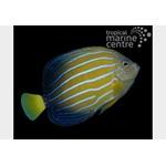 Chinese Blueline Angelfish