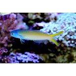Blue Face Tilefish