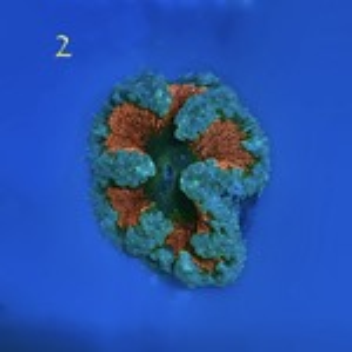 Flower Anemone
