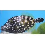 Clown Filefish