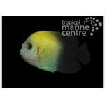 Halfblack Dwarf Angel Fish